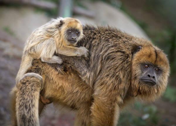 Monkey Kingdom Baby Monkey Howler Monkey And Baby
